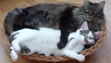 Accueillir un deuxième chat à la maison ?