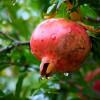 La sélection des arbres fruitiers
