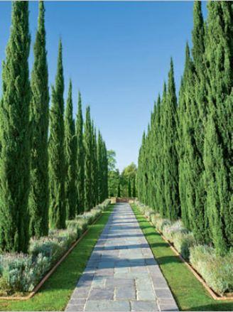 Vertus cypres - Cyprès jardin - Taille cyprès